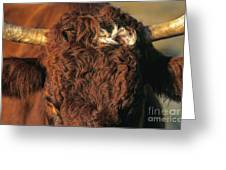 Face Of A Cow Salers. Auvergne . France Greeting Card by Bernard Jaubert