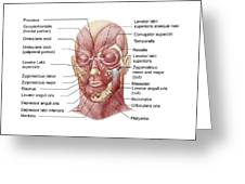 Facial Muscles Of The Human Face Greeting Card
