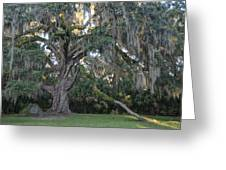Fairchild Oak With Sunbeam Greeting Card