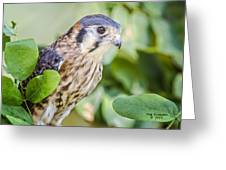 Falcon At Rest Greeting Card