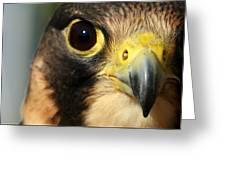 Falcon Focus Greeting Card