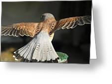 Falcon- Wings Spread Greeting Card
