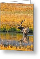 Fall Elk Reflection Greeting Card