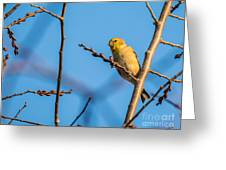 Fall Goldfinch Greeting Card