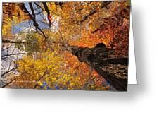 Fall Poplar Leaves Yellows Oranges 2899 Greeting Card