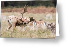 Fallow Deer - Amazing Antlers Greeting Card