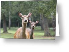 fallow deer Hochwildpark Rhineland Kommern Mechernich Germany Greeting Card