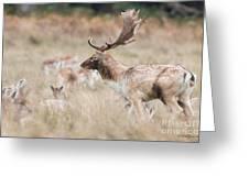 Fallow Deer Buck Greeting Card