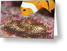 False Clown Anemonefish Tending Its Eggs Greeting Card