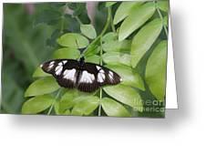 False Diadem Butterfly Greeting Card