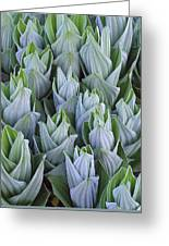 False Hellebore With Frost Colorado Greeting Card