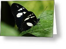 False Zebra Longwing Butterfly Greeting Card