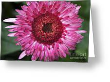 Fancy Pink Daisy Greeting Card