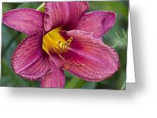 Fancy Red Wine Daylily Greeting Card