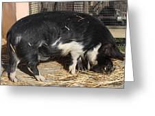 Farm Pig 7d27344 Greeting Card