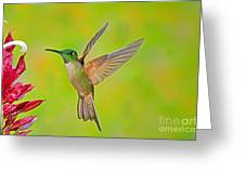 Fawn-breasted Brilliant Hummingbird Greeting Card