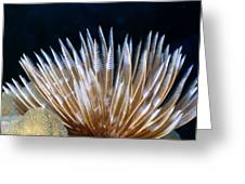 Feather Duster Worms 4 Greeting Card