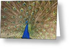 Feather Show Greeting Card