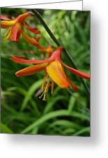 Feathery Orange Crocosmia Greeting Card