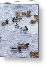 February  And Cold Ducks Greeting Card by Rosemarie E Seppala