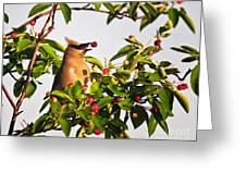 Feeding Cedar Waxwing Greeting Card
