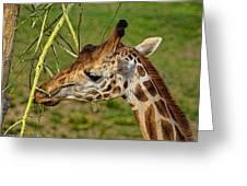 Feeding Giraffe Greeting Card