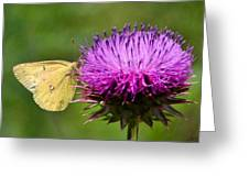 Feeding On Thistle Greeting Card