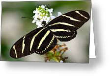 Feeding Zebra Butterfly Greeting Card