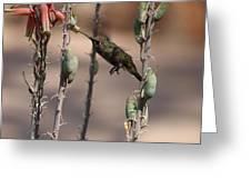 Female Anna's Hummingbird Greeting Card