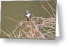 Female Belted Kingfisher Greeting Card