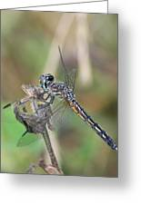Female Blue Dasher In July  Greeting Card