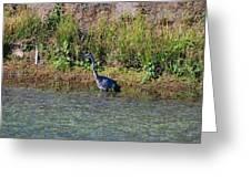 Female Blue Heron  Greeting Card