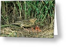 Female Bobolink At Nest Greeting Card