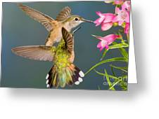 Female Broad-tailed Hummingbird Greeting Card
