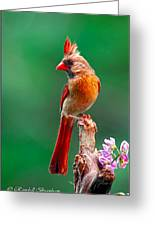 Female Cardinal Posing Pretty  Greeting Card