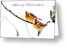 Female Cardinals Card Greeting Card
