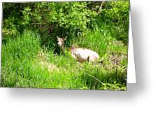 Female Deer Resting Greeting Card
