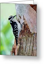 Female Downy Woodpecker Greeting Card