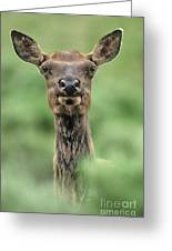 Female Elk Portrait Yellowstone National Park Wyoming Greeting Card