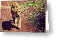 Female Lion Walking. Ngorongoro In Tanzania Greeting Card