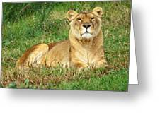 Female Lioness Lying On The Grass In The Afternoon Sun Greeting Card