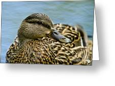 Female Mallard Duck Greeting Card
