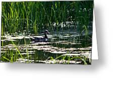 Female Mallard Duck Swimming Greeting Card