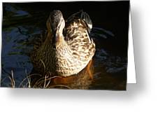 Female Mallard In Pond Greeting Card
