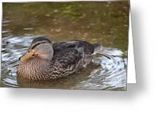 Female Mallard Greeting Card