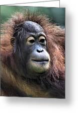 Female Orangutan Borneo Greeting Card