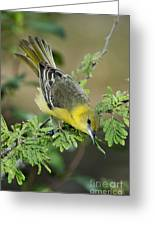 Female Orchard Oriole Greeting Card