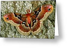 Female Promethea Moth Greeting Card