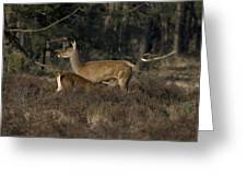 Female Red Deer Suckles Its Young Greeting Card
