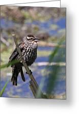 Female Red-winged Blackbird Greeting Card